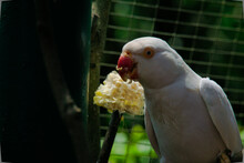 White Parakeet Eating Corn