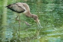 Stork At The Pond