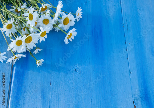 Fototapeta Camomiles on a blue wooden background. Beautiful spring composition, template for design with place for text. obraz na płótnie