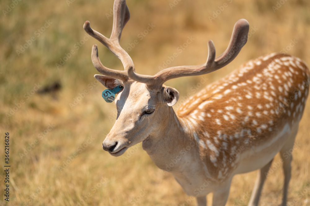 Fototapeta Little horned deer in a reserve or zoo on a background of dry grass