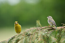 Two European Greenfinch Sitting On A Branch Of Pine Needles