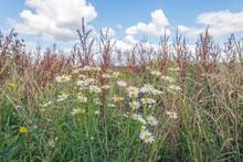 Sown Field Edge With Wildflowers