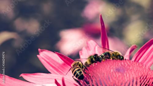 European honey bees (Apis mellifera) on pink flower Canvas Print