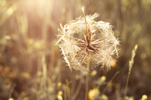 Goatsbeard Seed Head At Sunset