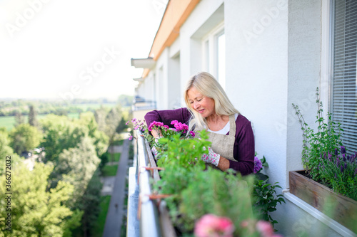 Fototapeta Senior woman gardening on balcony in summer, planting.