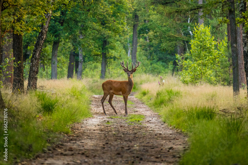 Carta da parati Red deer is standing on the road in the veluwe.