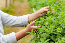 Young Girl Is Holding Fresh Leaves Of Basil In Her Hands. Close Up