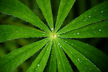 Closeup Of Leaf Of Lupine (lup...