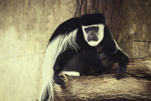 Cute Single Colobus Guereza, B...