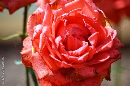 Fototapety, obrazy: red rose closeup