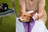 Fototapeta Kawa jest smaczna - dog drying himself with a towel in a pool