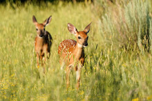 White-tailed Deer - Fawns
