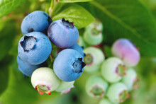 Beautiful Blueberry Berries On...