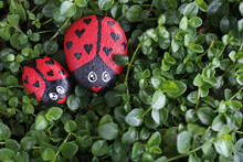 A Couple Of Painted Lady Bug K...