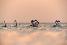 Greater Flamingos Wading In Th...