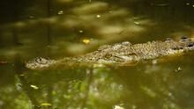 Saltwater Crocodiles (Crocodyl...