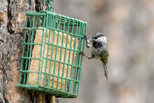 Mountain Chickadee With Suet In Beak.