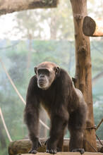 The Chimpanzee (Pan Troglodytes)