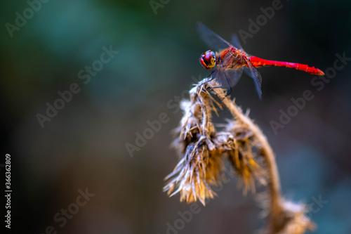Obraz na plátně European Scarlet dragonfly