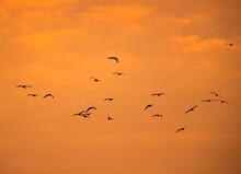 Black-headed Gulls Flying At Asker Beach During Morning