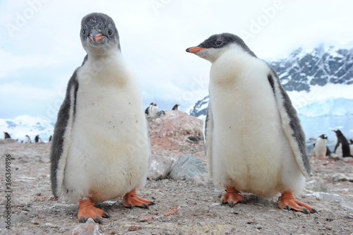 Gentoo Penguin Chicks (Pygoscelis papua) - the fastest underwater swimmers Fototapet