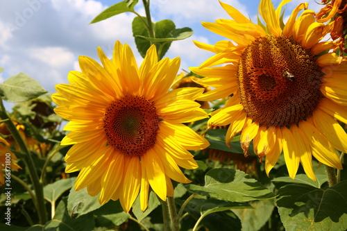 Fototapety, obrazy: sunflower in the field