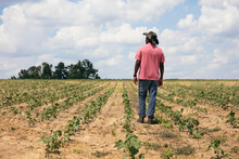 Rear View Of Man Standing In Cotton Field