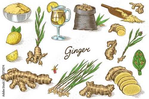 Fototapeta Ginger root, Chopped rhizome, Fresh plant, Bag and tea in glass cup. Vector Engraved hand drawn sketch. Pieces of ingredient set. Detox spice.  obraz