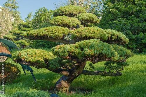 Obraz na plátne Unique shaping pine pruning technique or Niwaki for Japanese garden landscaping