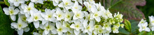 Large White Cluster Of Tiny Fl...
