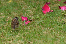 Sparrow In The Garden With Rose Petals
