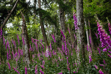 Foxglove Purple Flowers In Green Forest With Trees And Other Plants