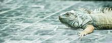 Iguana Walking On Gray Stone Background. Tropical Animals, Lizard And Herbivore