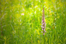 Wild Fragant Orchid (Gymnadeni...