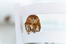 Ferruginous Pygmy Owl Close-up...