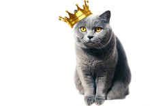 A Gray Scottish Thoroughbred Cat With Yellow Eyes And A Crown On His Head Sits Whimsically On A White Background. Pet Portrait.