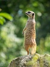 Single Meerkat Standing On The...
