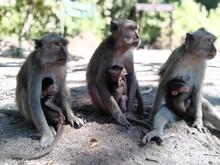 Monkey, Animal, Vector, Isolat...