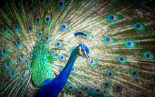 Closeup Of Beautiful Peacock With Feather Out, Spread Tail Feathers