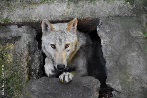 Fotografie, Obraz The Wolf (Canis lupus), also known as the gray wolf or grey wolf, is getting out