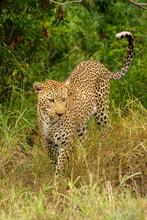 Leopard Walks Past Trees In Long Grass