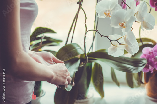 Woman caring for potted flowers on a windowsill. Orchid bloom. watering