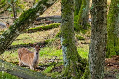 Ein Rothirschkalb allein im Wald