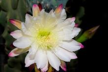 The White Flower Of The Cactus Cereus