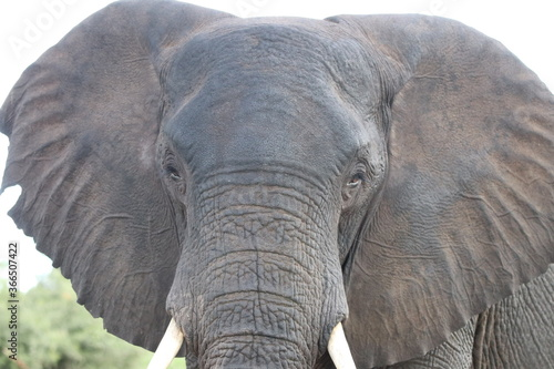 African Elephants playing in the Chobe National Park