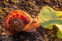Close Up Shot Of A Snail Eatin...