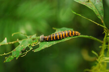 Caterpillar Is Eating A Leaf In Costa Rica