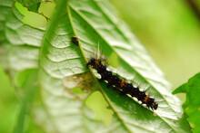 Caterpillar On A Leaf In Costa Rica