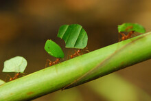 Leaf-cutting Ants Carrying Lea...