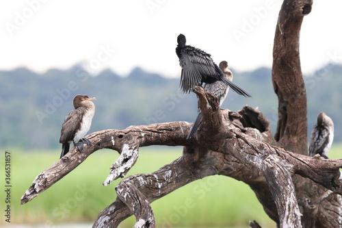 Fotografie, Obraz African Cormorants and Darter birds by the Chobe River in Botswana